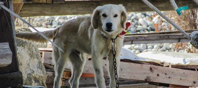 El peligro de un perro amarrado