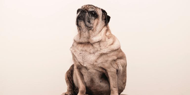 ¿Cómo darte cuenta que tu perrito es diabético y como cuidarlo?