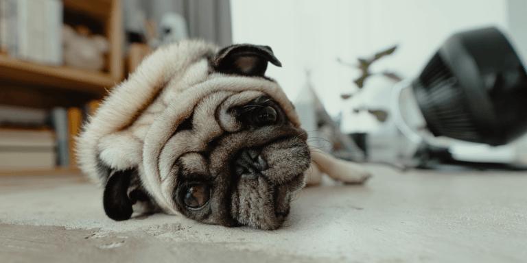 Evitar poner mascarillas a los perros ya que pueden estresarse