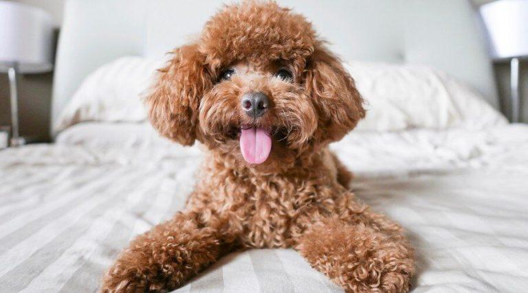 ¿Por qué es importante cepillar el pelo de tu perro?