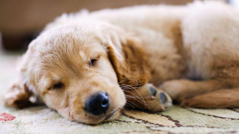 ¿Por qué mi perro tiembla cuando duerme?