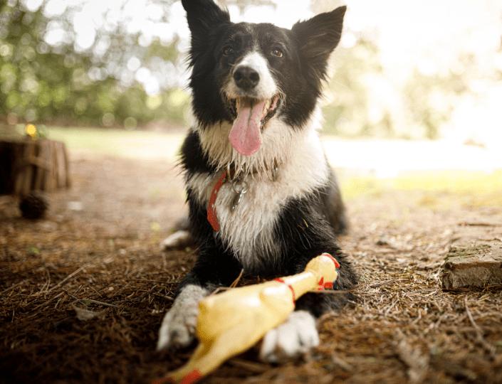 ¿Por qué a mi perro le gustan los juguetes de sonidos chillones?