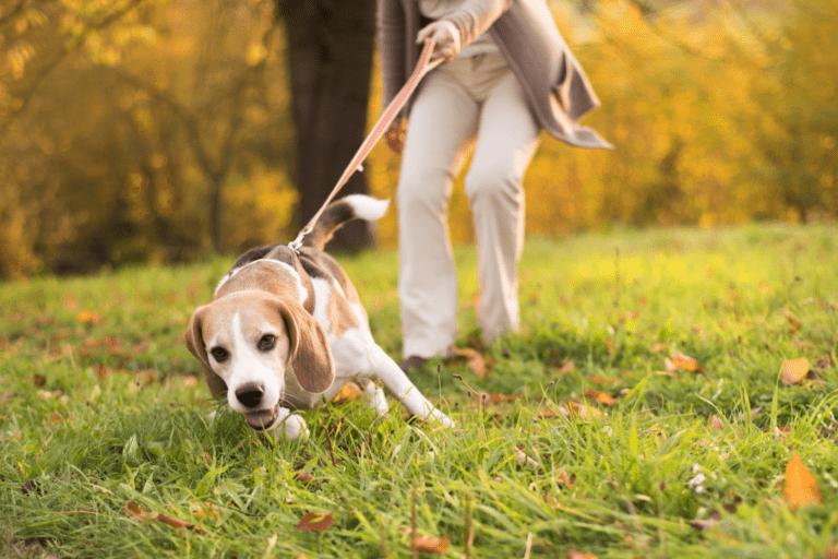 ¿Cómo hago para que mi perro no tire de la correa?